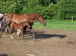 Missy and her baby colt. born june 6 -2007  call him Cisco